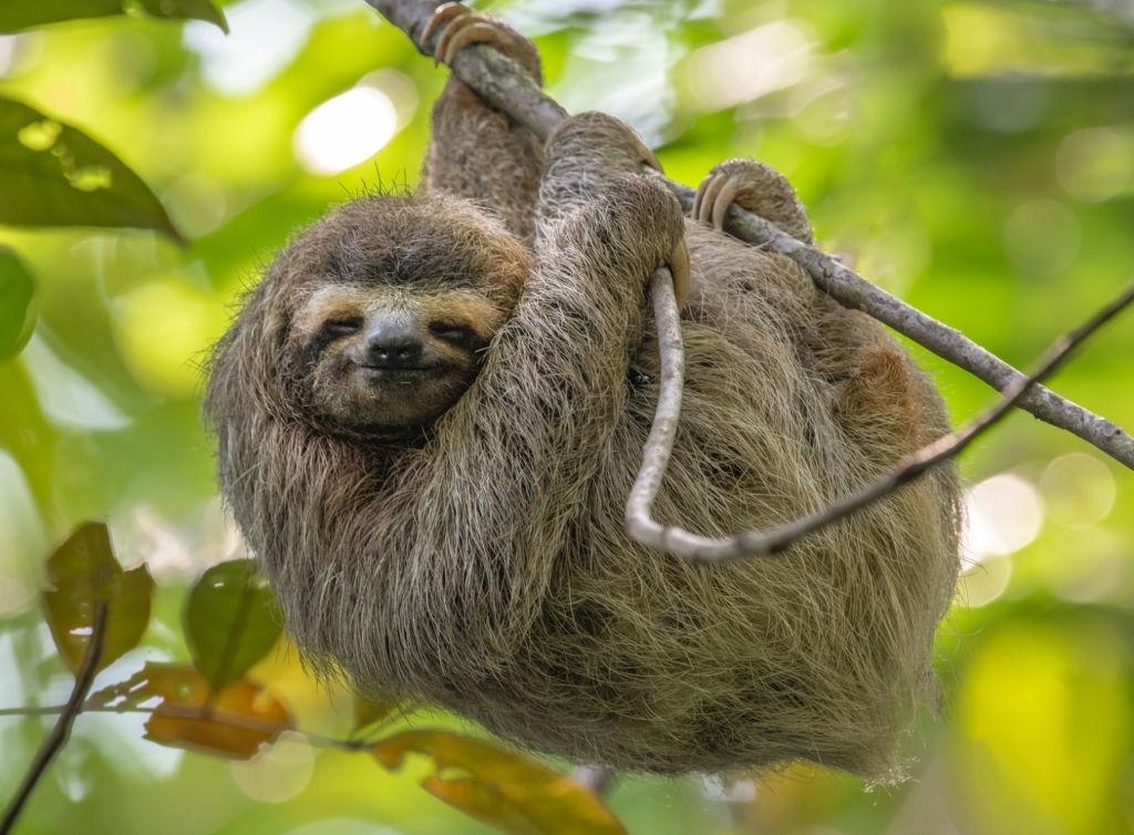 Perezosos, unos maravillosos animales en peligro de extinción